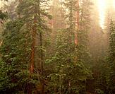 Eastern Pine Forest. Shenandoah National Park. Virginia. USA