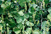Sea grape (Coccoloba uvifera)