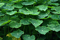 Nasturtiums
