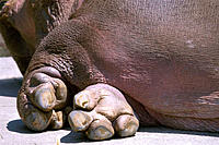 Hippopotamus (Hippopotamus amphibius)