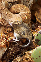 Western Diamond Rattlesnale (Crotalus atrox) eating rat. Arizona. USA