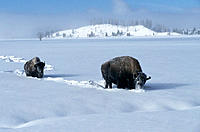 Bisons (Bison bison). Yellowstone National Park. Wyoming. USA