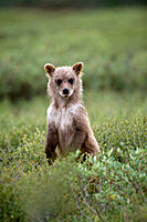 Brown Bear (Grizzly) cub (Ursus arctos), Denali National Park, Alaska, USA