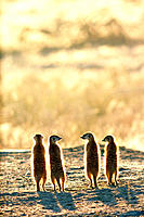Suricates (Suricatta suricatta). Kalahari-Gemsbok National Park. South Africa