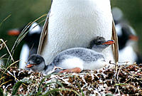 Gentoo Penguin (Pygoscelis papua) at nest with young. South Georgia. UK