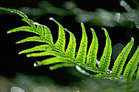 Licorice Fern (Polypodium glycyrrhiza). Olympic National Park. Washington. USA