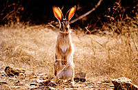 Blacknaped Hare. India