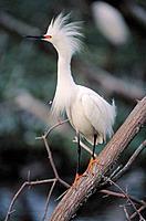Snowy Egret (Egretta thula). Louisiana. USA