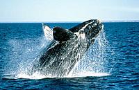 Southern Right Whale (Eubalaena australis). Golfo Nuevo. Patagonia. Argentina