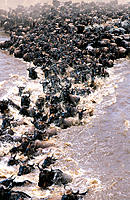 Migrating Wildebeest (Connochaetes taurinus) crossing Mara river. Masai Mara. Kenya