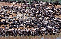 Wildebeest (Connochaetes taurinus) drinking. Masai Mara. Kenya