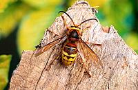 Hornet (Vespa crabro)