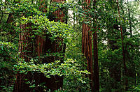 Redwoods (Sequoia sempervirens). Muir Woods National Monument. California. USA