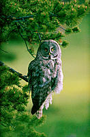 Great Gray Owl (Strix nebulosa). Yellowstone National Park. Wyoming. USA
