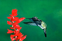 Anna's Hummingbird (Calypte anna). Northern California. USA