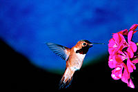 Rufous Hummingbird (Selasphorus rufus). Northern California. USA