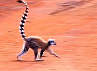 Ring-tailed lemur (Lemur catta). Madagascar