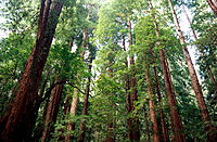 Redwoods (Sequoia semprevirens). Muir Woods National Park. California. USA