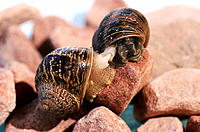 Garden Snails mating (Helix aspersa).