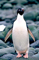 Adelie Penguin (Pygoscelis adeliae)