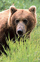 Brown Bear (Ursus arctos). McNeil River State Game Sanctuary. Alaska. USA
