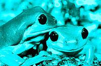 White´s Treefrogs (Litoria caerulea)