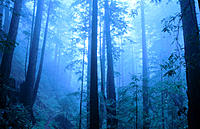 Redwoods forest. Julia Pfeiffer Burns SP. California. USA