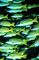 Blue-Lined Snappers (Lutjanus kasmira). Maldive Islands
