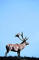 Red Deer (Cervus elaphus), male during rut