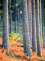 Pine trunks in evening light. Västerbotten. Sweden