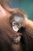 Orang-Utans (Pongo pygmaeus). Mother and baby. Gunung Leuser National Park. Indonesia