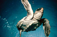 Loggerhead Turtle (Caretta caretta). Spain