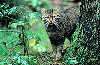 Wildcat (Felis silvestris)