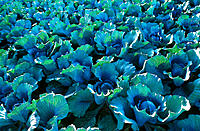 Cabbages (Brassica oleracea)