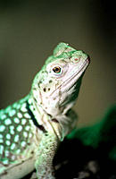 Common Collared Lizard (Crotaphytus collaris), captive. England