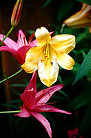 Lilies, two red-purple, one gold and white, against dark background
