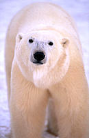 Polar Bear (Ursus maritimus). Cape Churchill. Manitoba. Canada
