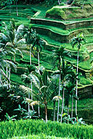 Terraced rice fields. Bali. Indonesia