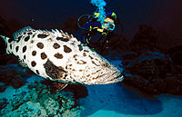 Potato Grouper (Epinephelus tukula) and diver. Great Barrier Reef. Australia