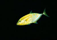 Orangespotted Trevally (Carangoides bajad). Red Sea