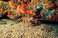 Spiny Lobster (Palinurus elephas)