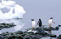 Gentoo Penguins (Pygoscelis papua). Antarctica