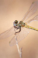 Common Darter (Sympetrum striolatum), female