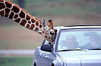 People in car and giraffe. Fossil Rim Wildlife Center. Glen Rose. Texas. USA