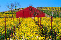 Wild Mustard and red barn in vineyard in spring. Carneros Region. Napa County. California. USA