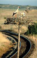White Storks (Ciconia ciconia). Spain