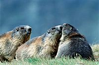 Marmots (Marmota marmota). Austria