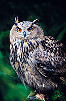 Eagle Owl (Bubo bubo)