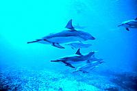 Spinner Dolphins (Stenella longirostis). Hawaii. USA