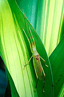Katydid (Orthoptera planeropterinae) on Bromeliad. Tropical rain forest, Costa Rica